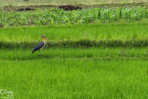 Lesser Adjutant Stork. Chitwan National Park.