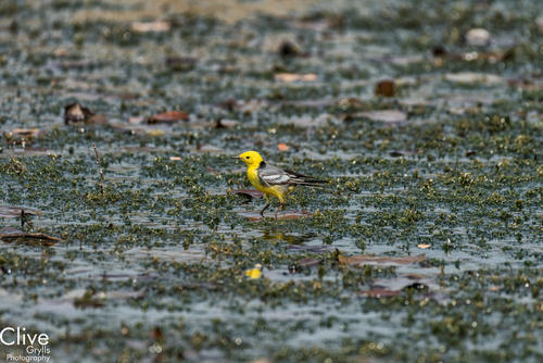 Yellow lapwing. Bardia National Park.