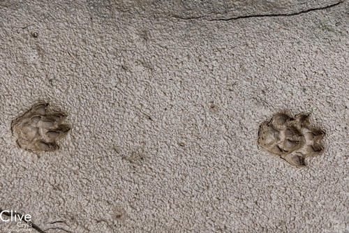 Sloth bear tracks in the Chitwan National Park