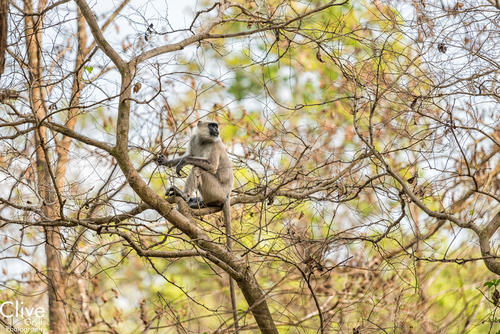 Grey/Gray Langur monkey on a tree bough in the Bardia National Park