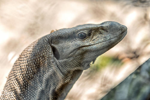 Indian or Bengal monitor lizard in the Chitwan National Park