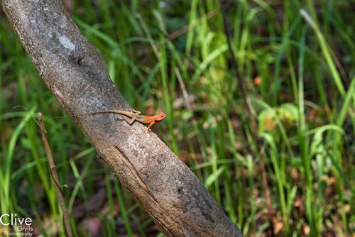 Orange or Lava lizard in the Chitwan National Park