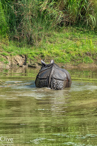 The back side or posterior of a Greater One-horned rhinoceros in the Chitwan National Park