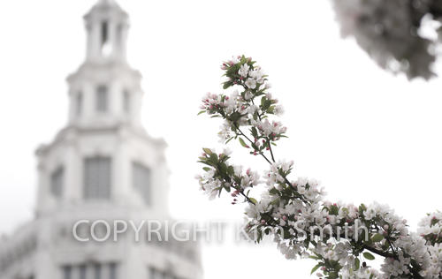Buffalo NY Spring cherry blossoms stock photo
