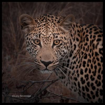 Un leopardo no puede cambiar sus manchas | A leopard can't change it's spots