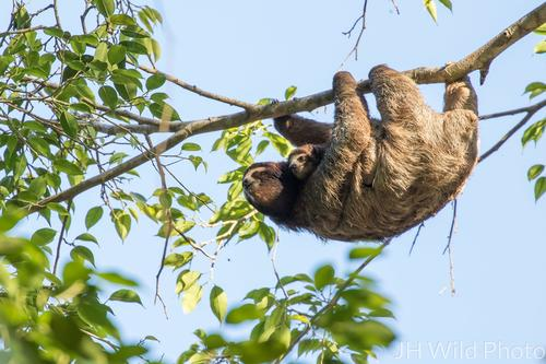 3 toed sloth carrying baby