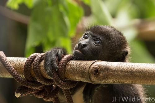 Juvenile Howler Monkey at Jaguar Rescue Center, Puerto Viejo, Costa Rica