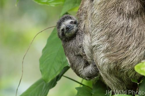 3 toed sloth baby