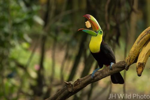Keel Billed Toucan tossing banana to eat