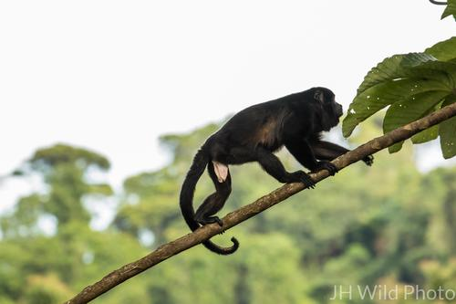Juvenile Male Howler Monkey