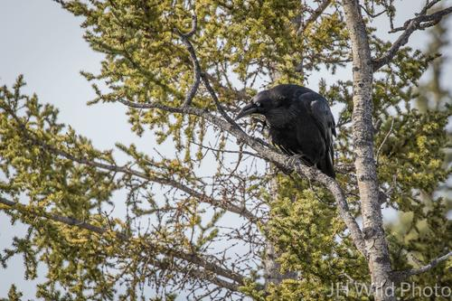 Common Raven, Yukon's provincial bird