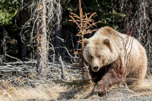 Grizzly Bear Emerging From Woods