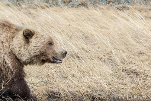 Grizzly Bear Profile, Destruction Bay, Yukon