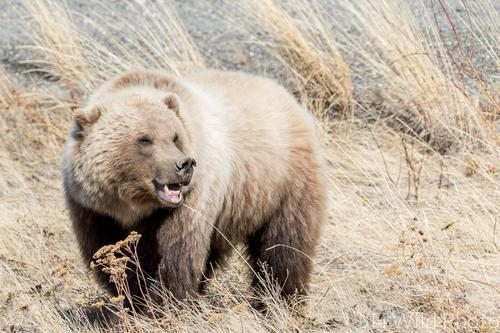 Grizzly Bear, Destruction Bay, Yukon