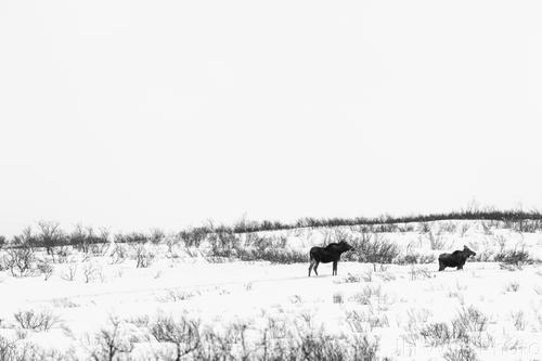 Moose and calf, Haines Highway, Yukon