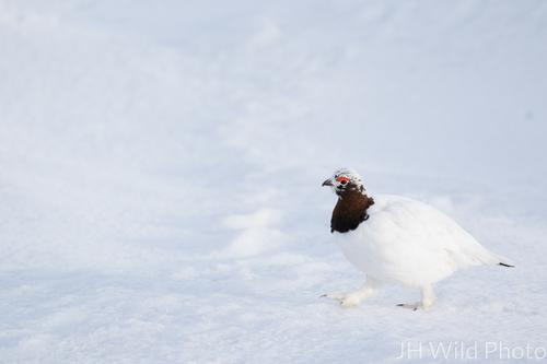 Ptarmigan in winter plumage