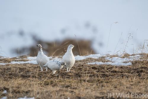 Trio of Ptarmigan