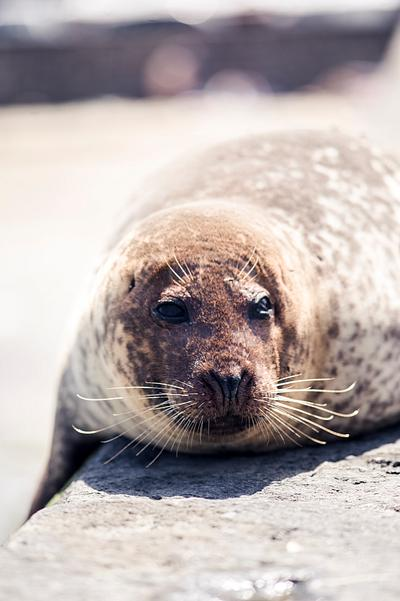 Seal resting on harbour