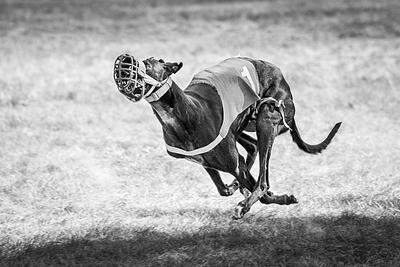 Granite State Greyhounds 8.23.2020 Race