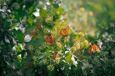 Monarch Butterly Forrest