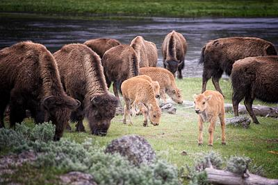 Red Dogs Surrounded by Buffalo Herd