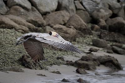 Lone Brown Pelican over Seashore