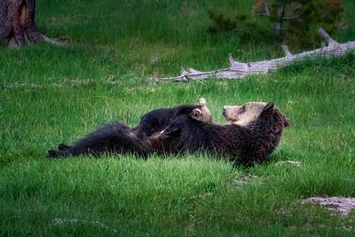 Mama Bear Nursing