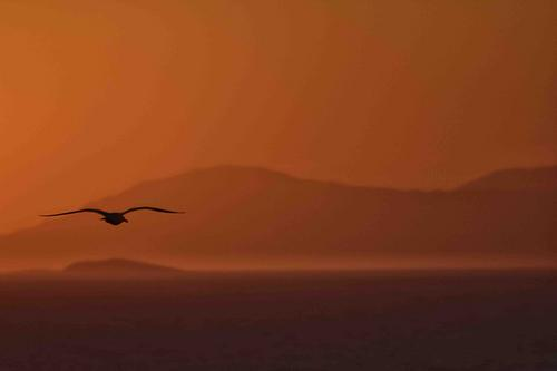 Gull in the Gulf of Naples