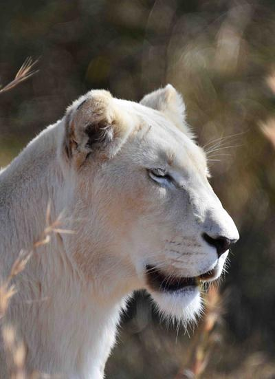 White Lionesse, South Africa