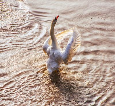 Swan in France,