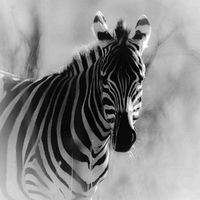 Zebra, South Africa, B&W