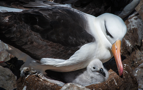 Black Browed Alabatross with Chick on Falklands