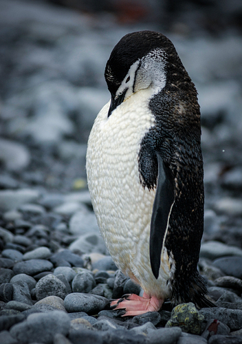 A Chinstrap Penguin Grooms Itself On A Stone Beach In Antarctica