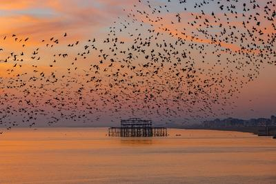 Brighton Starlings Collection