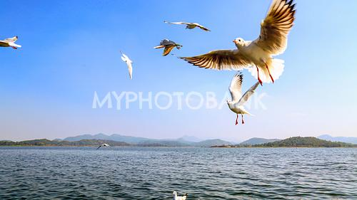 Siberian birds flying over Patratu dam
