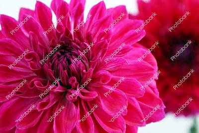 Closeup of Dahlia flower