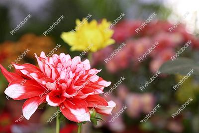 Dahlia in garden