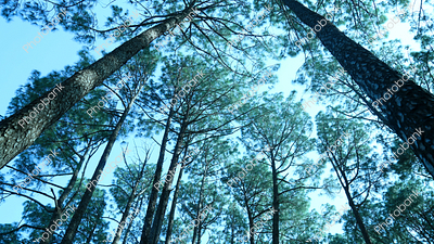 view of pine trees in Netarhat, Latehar, Jharkhand