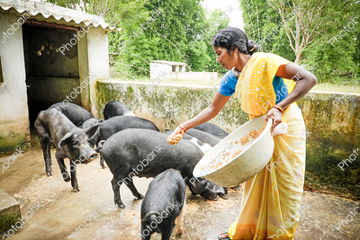 Indian Woman Feeding Pigs