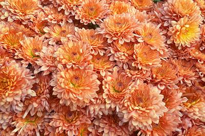 Group of Chrysanthemum