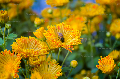 Bee and the yellow flower
