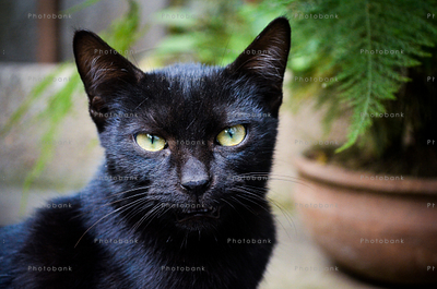 Indian black cat closeup