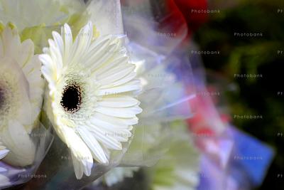 Barberton daisy