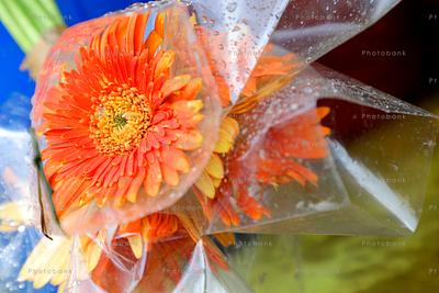Orange Barberton daisy