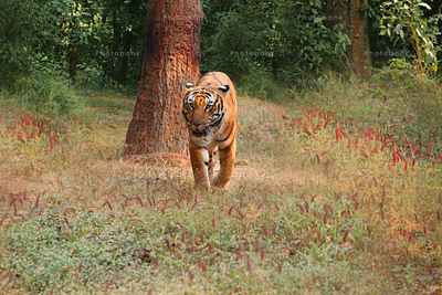 Tiger in jungle