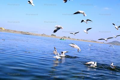 Siberian birds over patratu dam