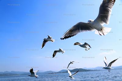 Siberian migratory birds at patratu dam