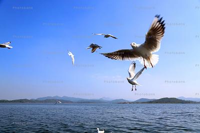 birds flying at partatu dam, ranchi