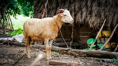 Rope tied goat