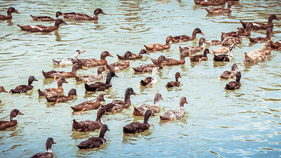 Group of duck swimming in the lake